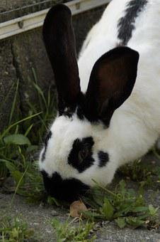 Stall Hase, Hare, Black And White, Nager, Ears