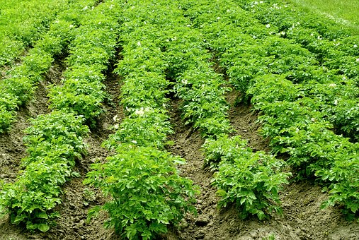 Potatoes, The Cultivation Of, Earth, Agriculture