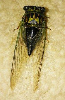 Cicada, Dog-day Cicada, Dog Day, Tibicen Canicularis