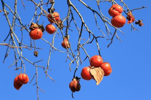 Persimmon, Wood, Eggplant, Winter, Sky, Nature