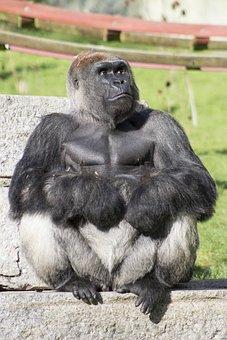Gorilla, Silverback, Wild, Animal, Ape, Primate, Monkey