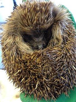 Hedgehog, Animal, Spiny, Spiky, Prickly, Mammal
