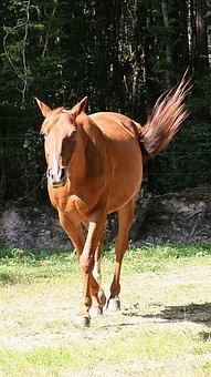 Horse, Trot, Trotter, Animals, Horseback Riding, Pre