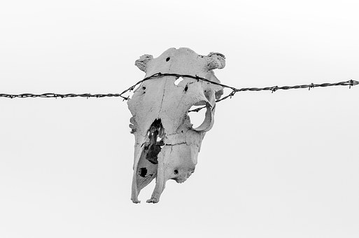 Barbwire, Skull, Cow Skull, Ranch, Rustic, Western