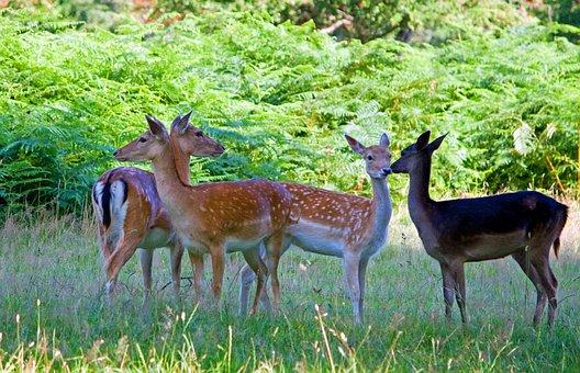 Deer, Fallow Deer, Herd, Group, Close-up, Beautiful