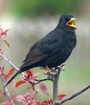 Blackbird, Bird, Call, Crowing, Calling, Morning