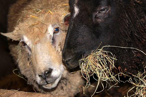 Sheep, Black Sheep, White Sheep, Animals, Feeding, Eat