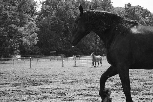 Horse, Trot, Nature, Farm, Stallion, Black, Equestrian