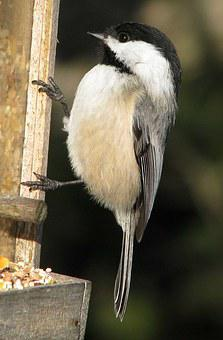 Black-capped Chickadee, Poecile Atricapillus, Moneymore
