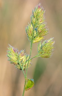 Buffalo Cicada, Stictocephala Bisonia, Grass Ear