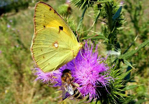 Brimstone Butterfly, Butterfly, Yellow, Insecta, Grass