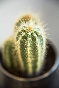 Cactus, Cactae, Macro, Succulent, Detail, Plant, Dry