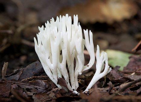 Mushroom, Meadow Coral, Chanterelle, Ramariopsis