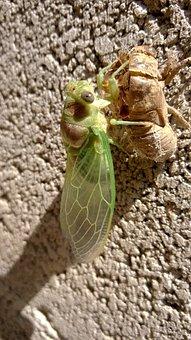 Cicada, Chrysalis, Provence