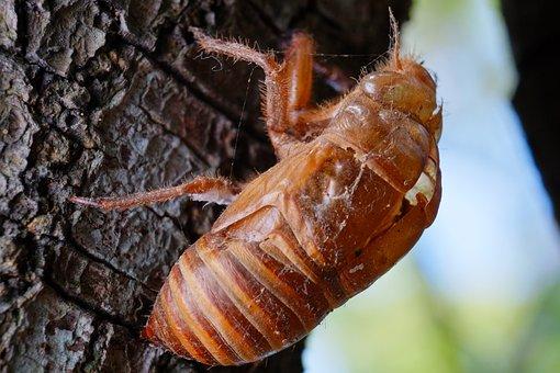 Cicada, Animal, Chantui, The Cicada Shell, Insect