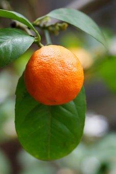 Branch, Citrus, Food, Fresh, Fruit, Garden, Growing