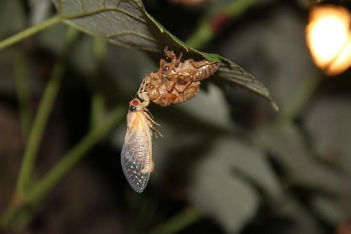 Cicada, Insect, Bugs, Close-up, Shell