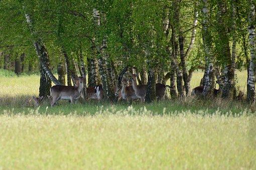 Fallow Deer, Duvenstedter Brook, Deer, Hirschsprung