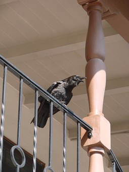 Raven, Calling Raven, Crow, Birds, Dig, Creepy