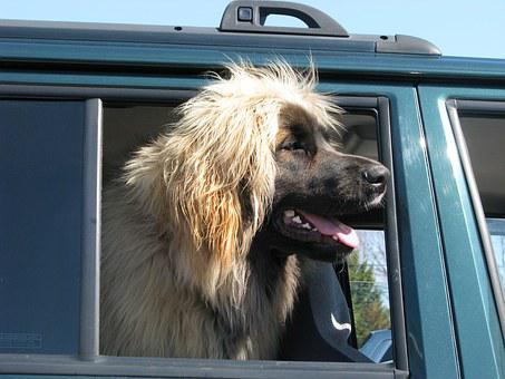 Domestic Dog, Canis Familiaris, Leonberger, Tamworth