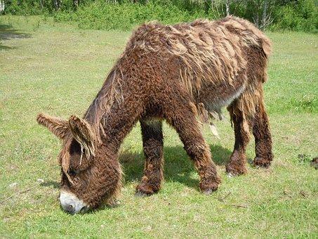 Donkey, Fur, Poitou Donkey, Livestock