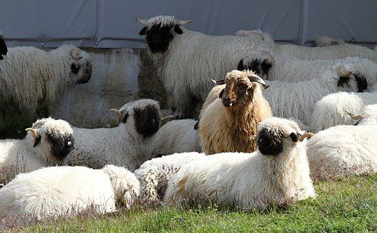 Black Nose Sheep, Sheep, Flock Of Sheep, Flock