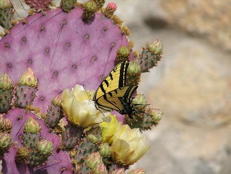 Butterfly, Cactus, Flower, Insects, Habitat, Feeding