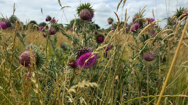 Thistle, Flowers, Purple, Spiky Fields, Grass, Summer
