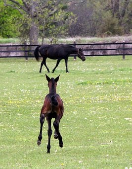 Animal, Horse, Foal, Equine, Horses, Trotter, Sports