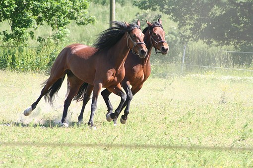 Horses, Gallop, Trotters, Warmblood