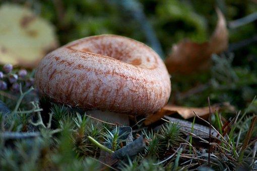 Woolly Milkcap, Bearded Milkcap, Lactarius Torminosus
