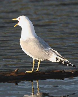 Canus, Larus, Calling, Gull, Mew, Bird, Seagull, Birds