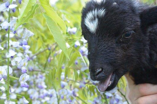 Lamb, Wisteria, Nature, Calling, Bleating, Baby, Animal