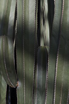 Cactus, Plant, Longwood, Thorns, Nature, Pointed