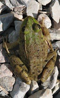 Green Frog, Lithobates Clamitans, Moneymore, Ontario