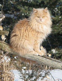 Domestic Cat, Felis Catus, Crossbreed, Pet, Mynee