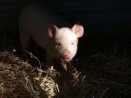 Pig, Piglet, Pork, Face, Snout, Trotter, Pink, Straw