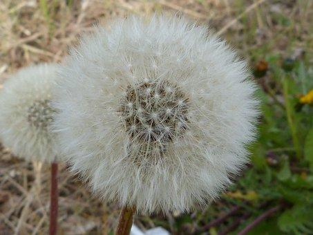 Dandelion, Pollen, Seeds, Bloom, Nature, Blossom, Bloom