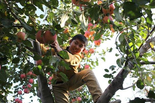 Aksu, Red Slope, Apple, Tree, Child, China, Garden