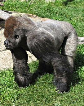 Silverback, Gorilla, Calgary, Zoo, Canada, Ape, Primate