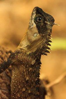Animal, Eye, Lizard, Nature, Reptile, Skin, Spiked