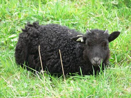 Goat, Black Goat, Black, Baby, Agriculture, Small