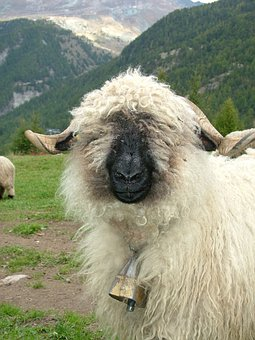 Animal, Sheep, Black Nosed Sheep, Valais, Switzerland