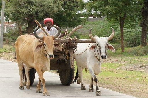 India, Ox Karre, Rajasthan, Swot Up