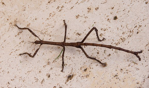 Titan Stick Insect, Stick Insect, Insect