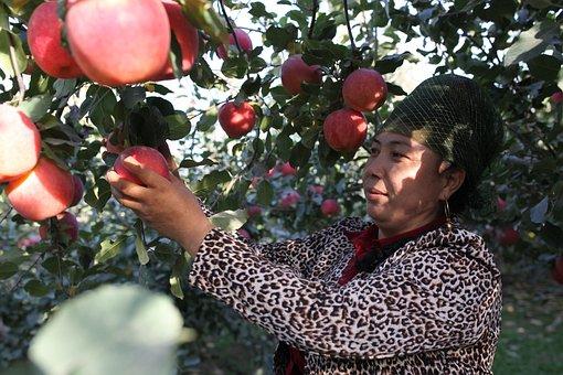 Aksu, Red Slope, Apple, Tree, China, Garden, Fruit