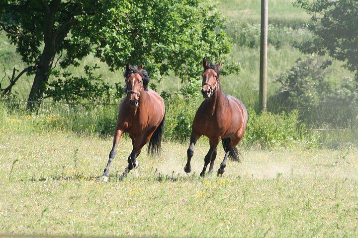 Horses, Trotters, Gallop