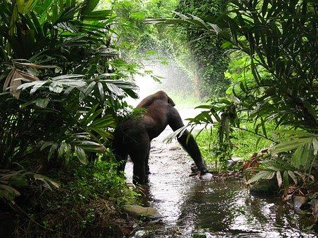 Gorilla, Jungle, Mist, Primate, Africa, Ape, Waiting