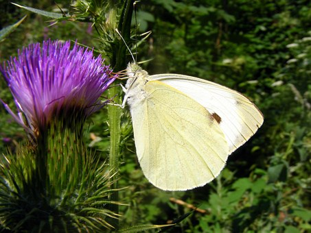 Brimstone, Butterfly, White, Flower, Mov, Green, Nature