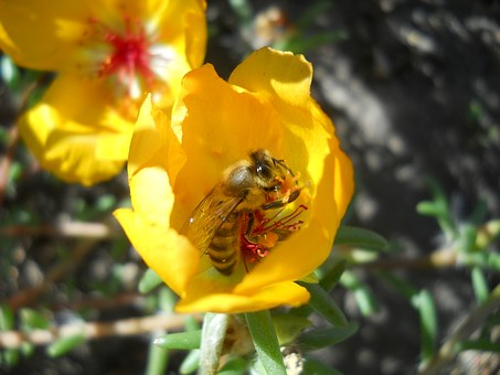Bee, Flower, Yellow, Nature, Insecta, Garden, Spring